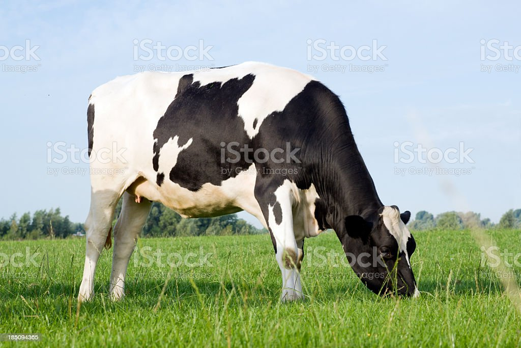 Single cow standing alone in a field of grass stock photo