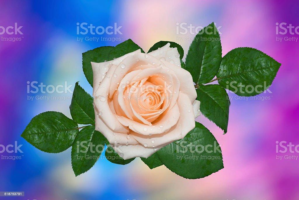 Single cream rose stock photo