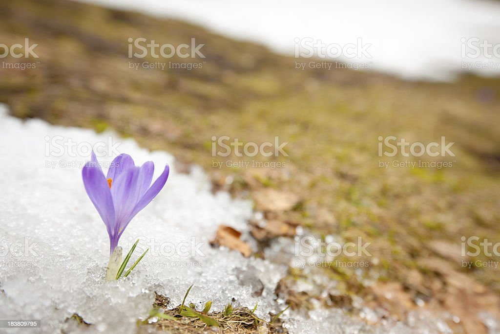 Single Crocus in Thawing Snow at Springtime stock photo