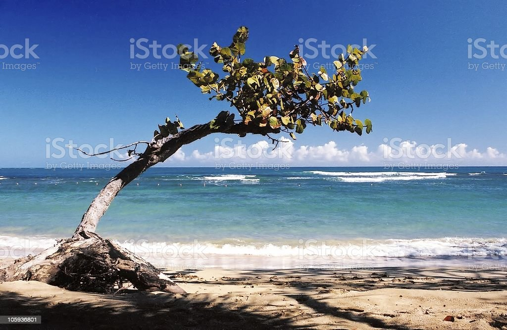 Single crooked tree on sandy beach with crystal blue waters stock photo