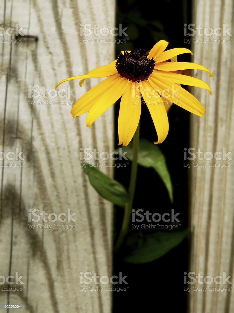Single, Curious Daisy stock photo