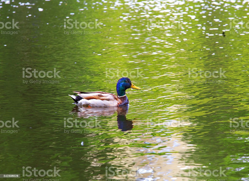 Single cute duck on the reflective water surface. stock photo