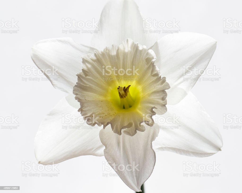 Single Daffodil On White Background Stock Photo 469912960 Istock