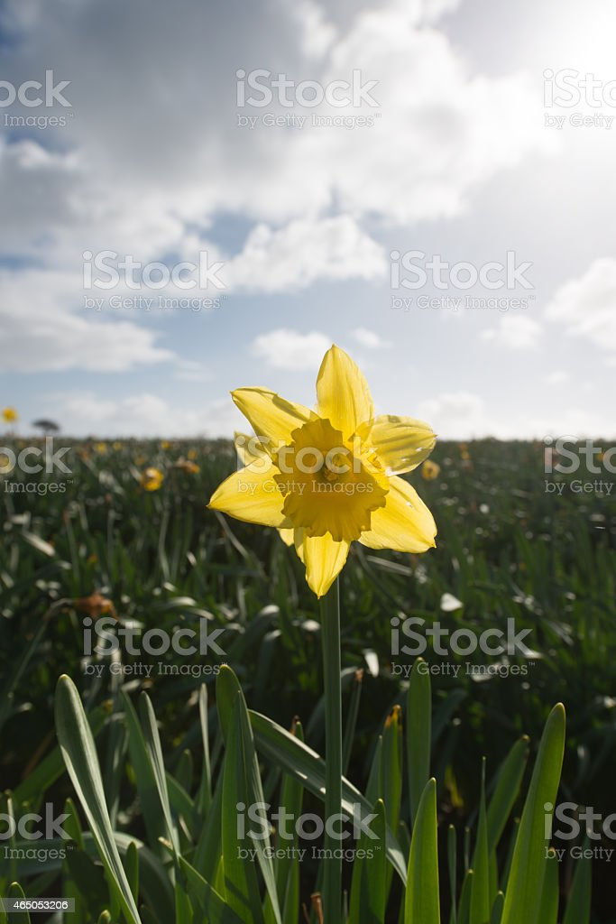 Single Daffodil. stock photo