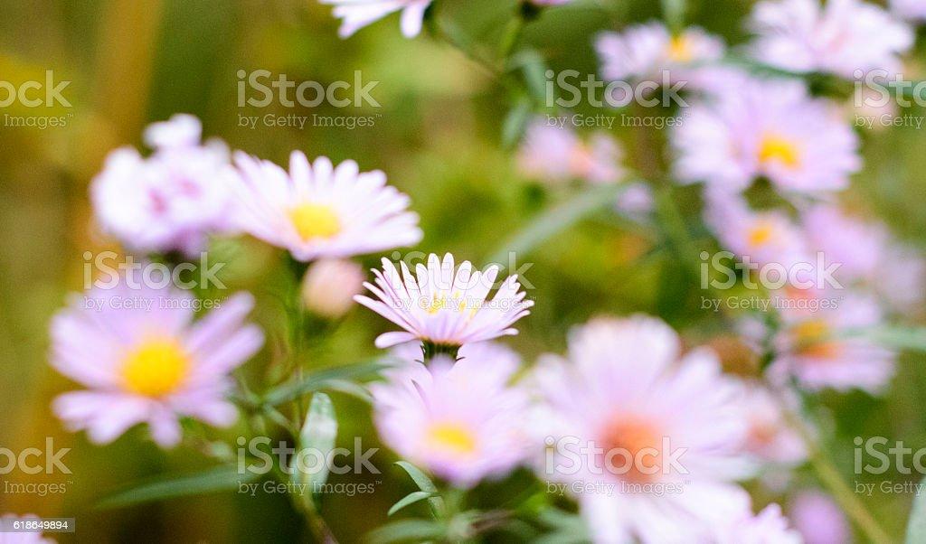 single daisy focus stock photo