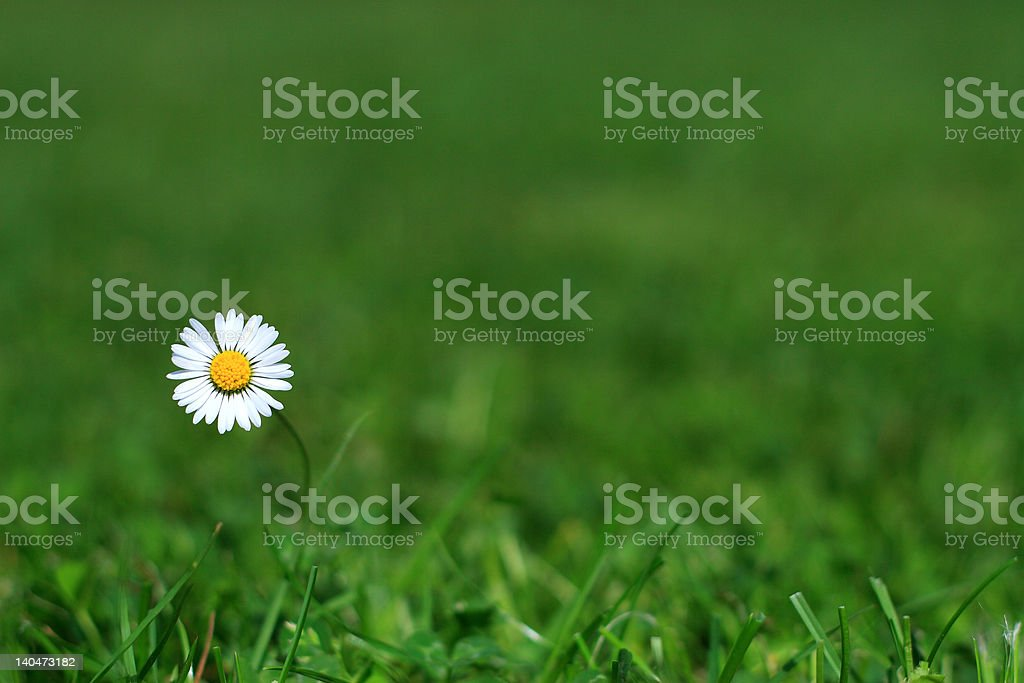 single daisy royalty-free stock photo