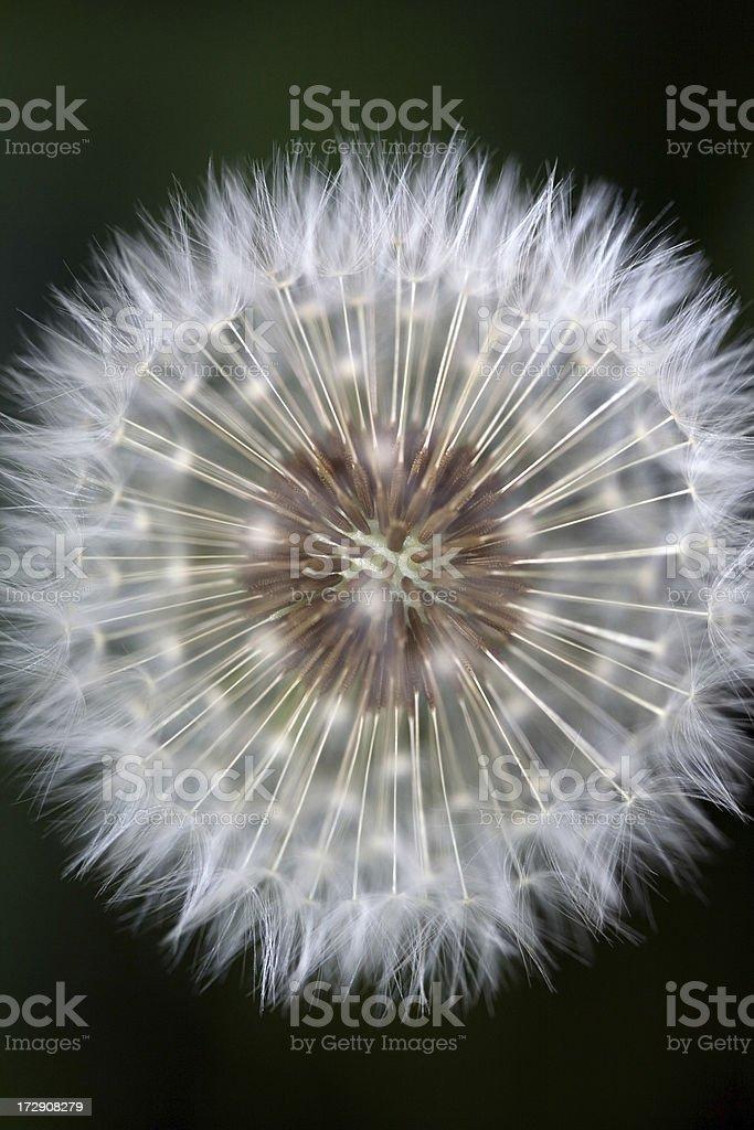 Single dandelion stock photo