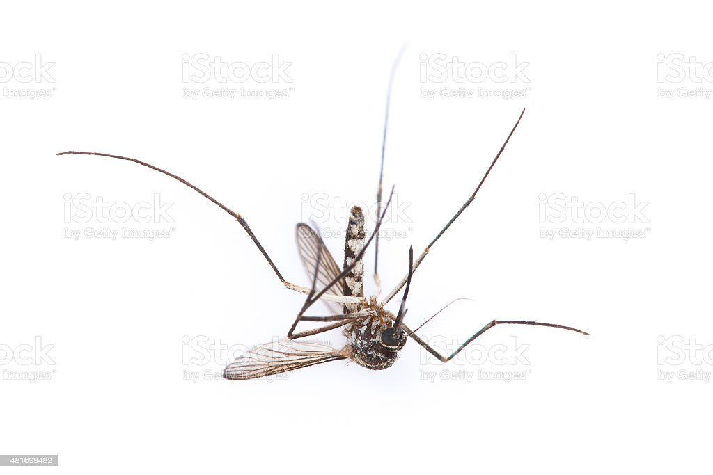 Single dead aedes isolated on white stock photo