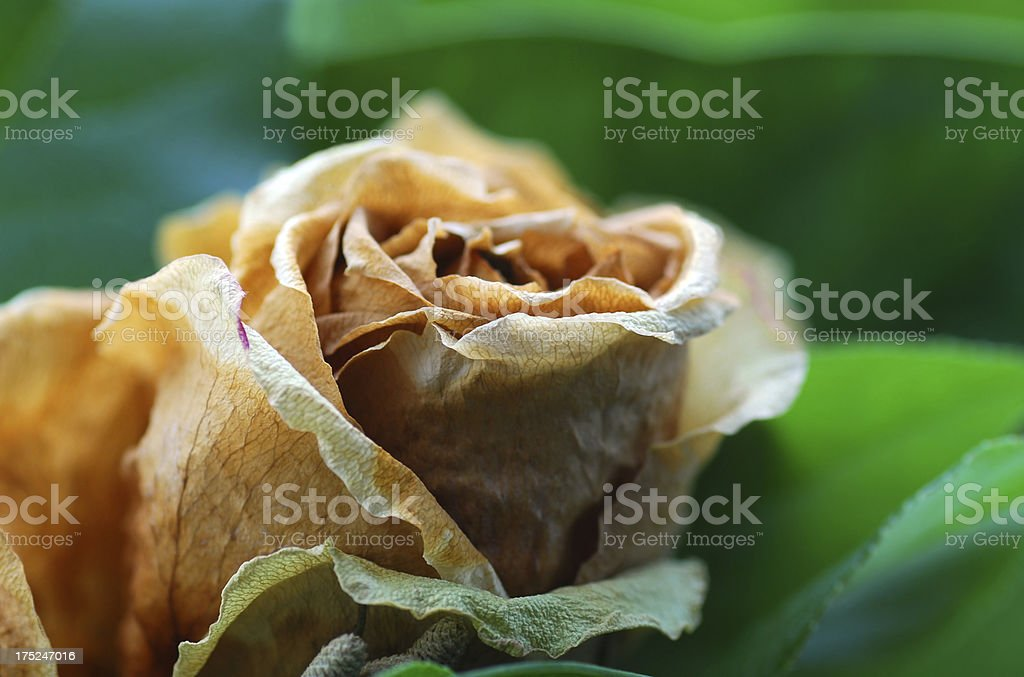 Single dried up white rose. royalty-free stock photo