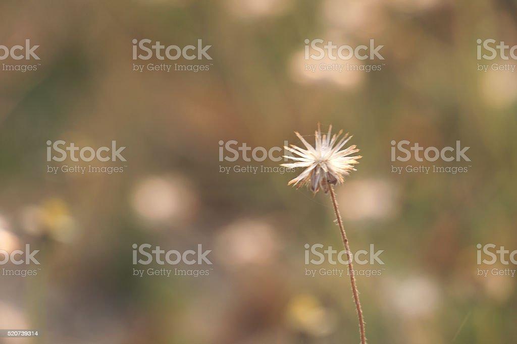 Single dry grass flower royalty-free stock photo