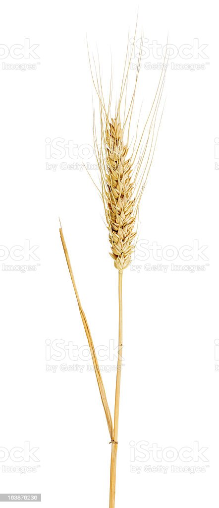single ear of gold wheat with awns royalty-free stock photo