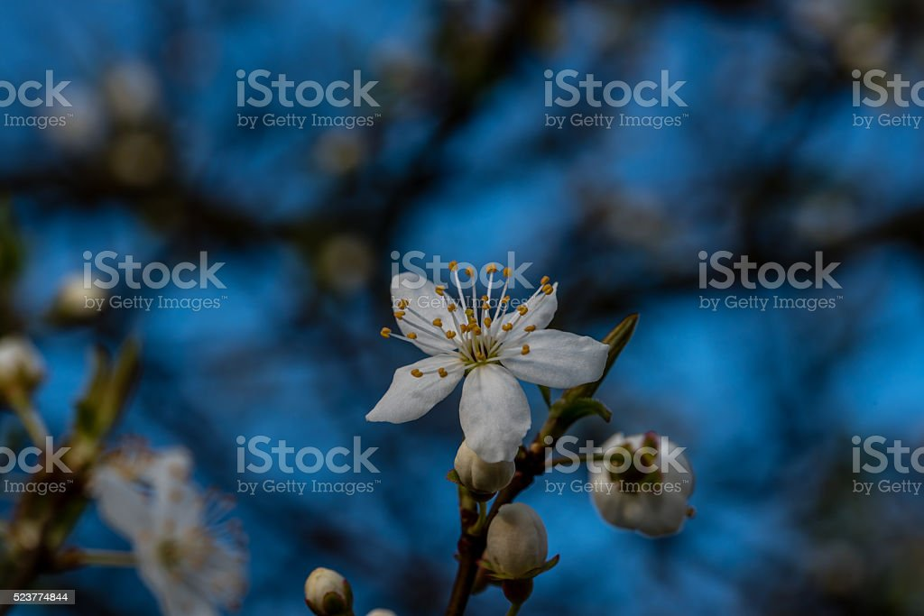 Single Early Plum Tree Blossom on Blue Background stock photo