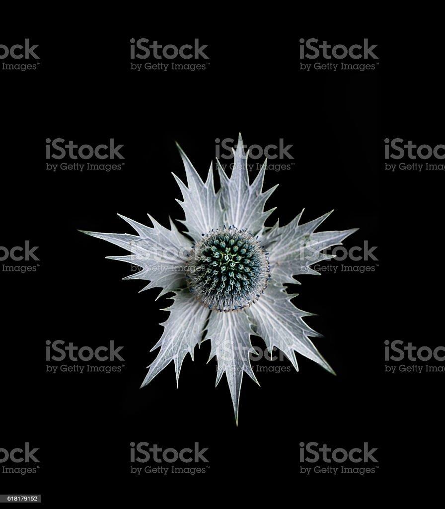 Single eryngium flower stock photo