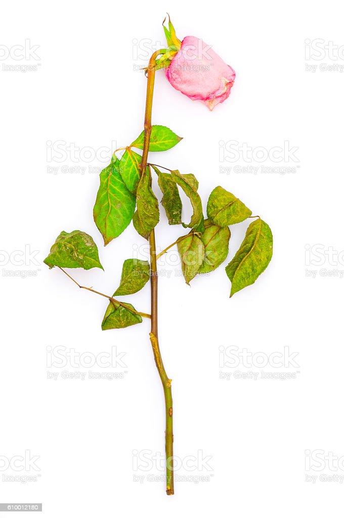 Single faded rose on white background stock photo