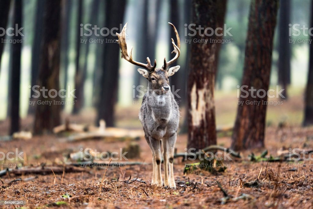 Single fallow deer buck standing in forest. stock photo