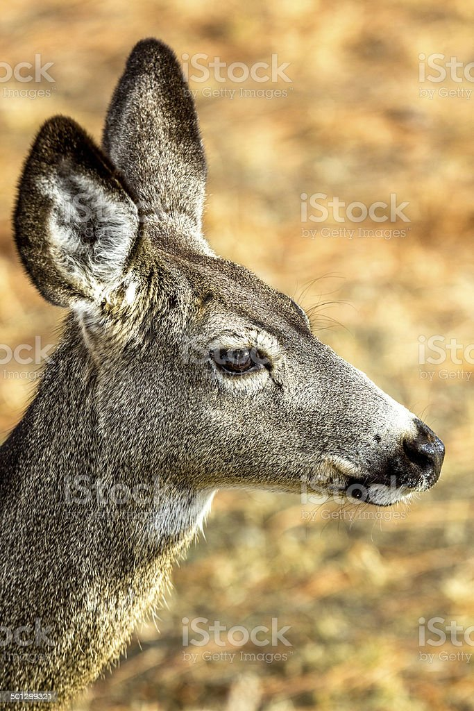 Single female deer from the side stock photo