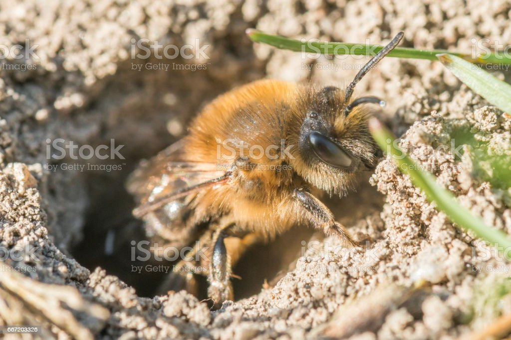 Single female mining bee in her hole on the ground stock photo