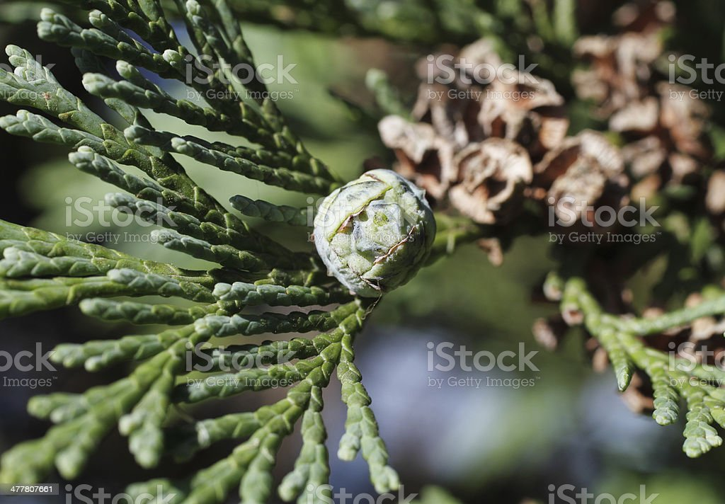 Female pine cone Lawson cypress tree Chamaecyparis lawsoniana stock photo