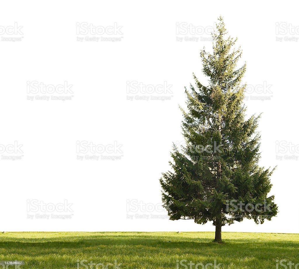 single fir and grass on white royalty-free stock photo