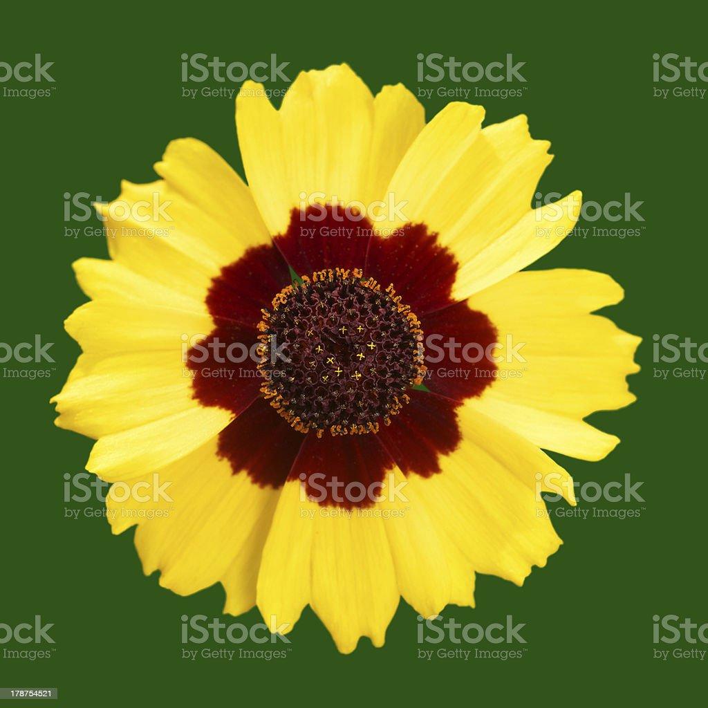 Single flower head royalty-free stock photo