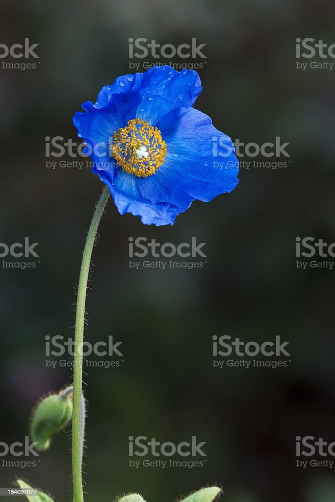 Single flowerhead of a blue poppy stock photo