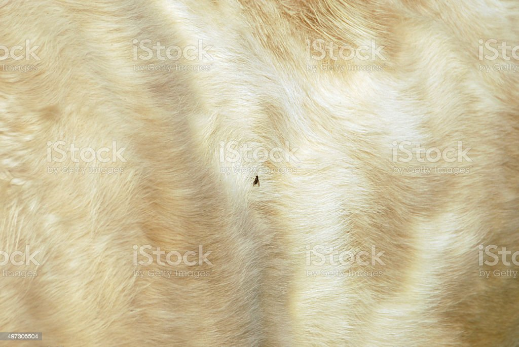 Single fly sits on the skin of a cow charolais stock photo