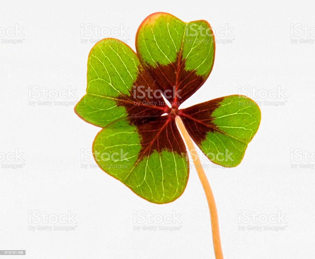 single four leaf clover stock photo