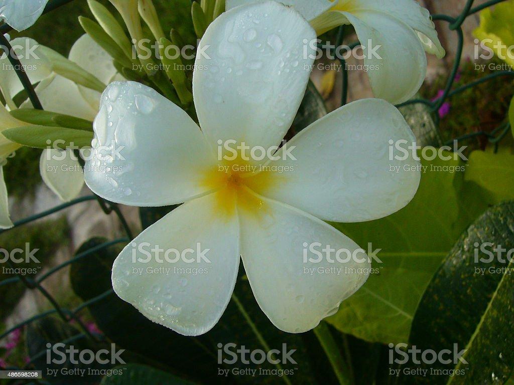 Single Frangipani flower stock photo