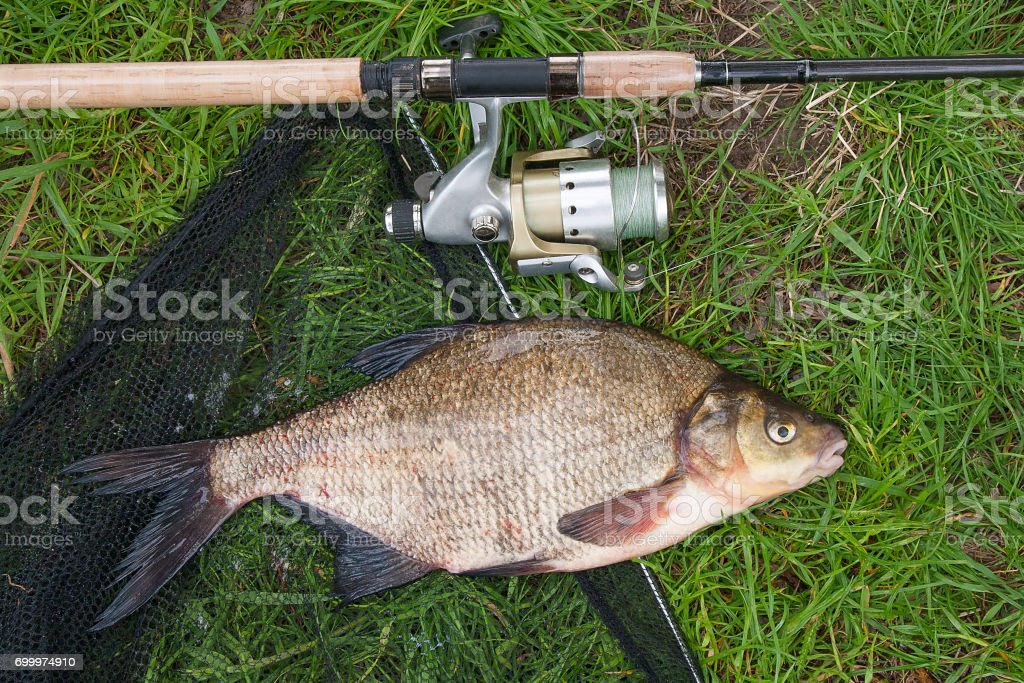 Single freshwater fish common bream and fishing rod with reel stock photo