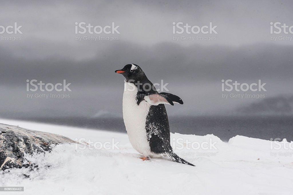 Single Gentoo Penguin on the snow in Antarctica stock photo