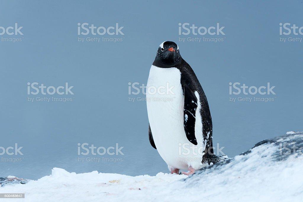 Single gentoo penguin stock photo