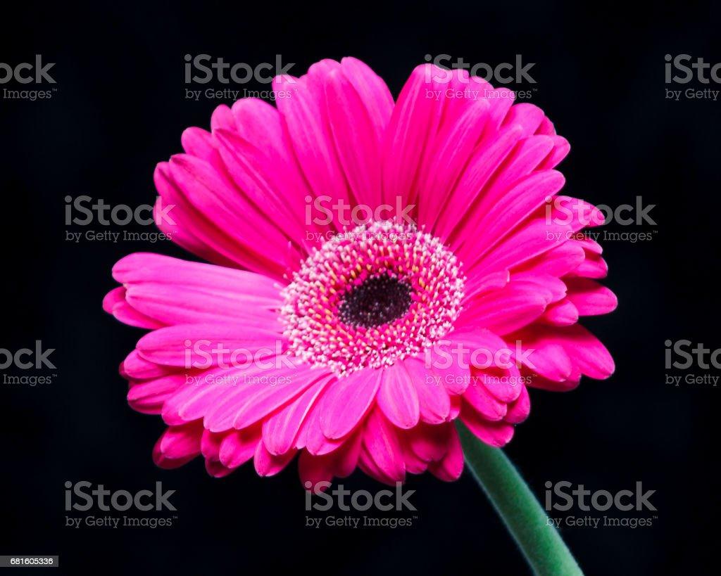 Single Gerbera Daisy stock photo