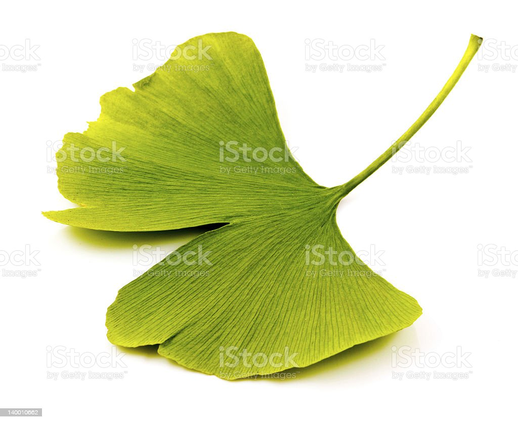 Single ginkgo biloba leaf isolated on a white background stock photo
