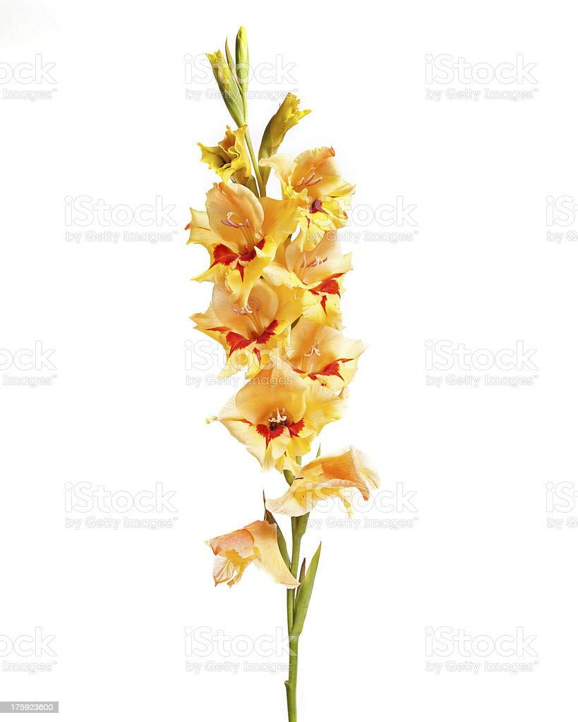Single Gladiolus stock photo