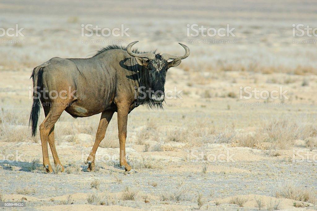 Single gnu in Etosha National Park stock photo