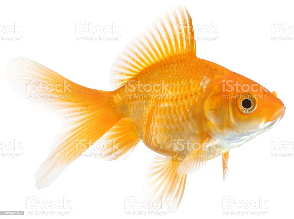 single goldfish stock photo