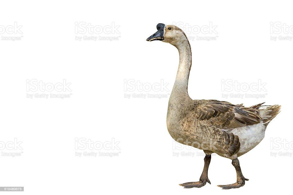 Single goose on isolated on white background. stock photo
