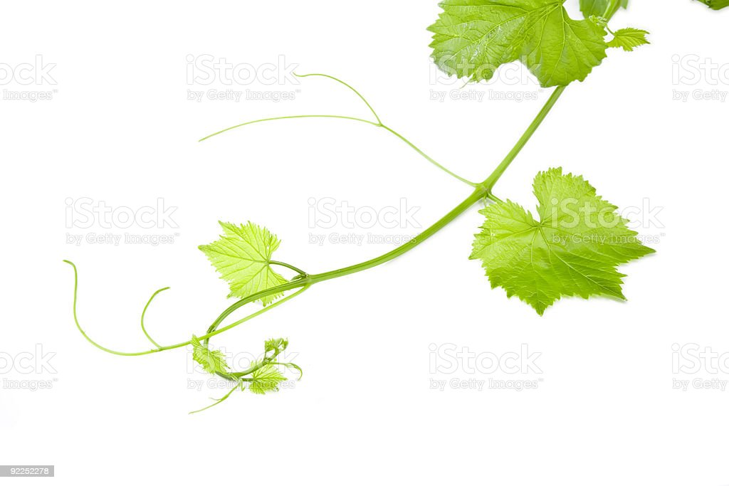 A single grape vine with leaves on a white background stock photo