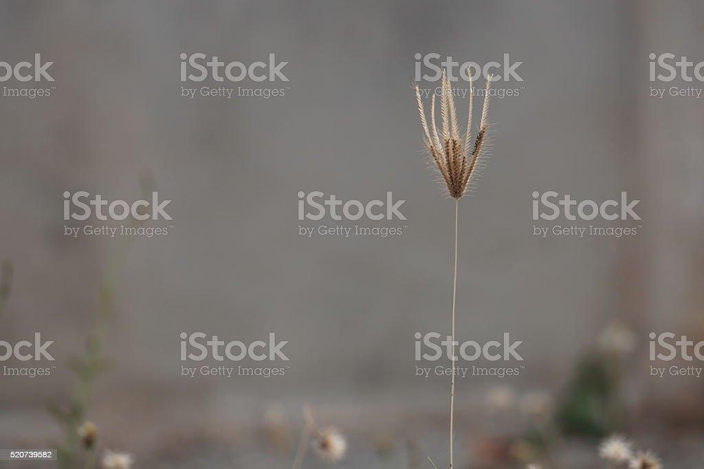 Single grass flower royalty-free stock photo