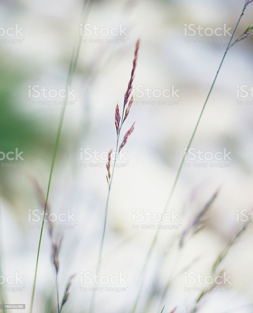 Single grass stalk in a field on sunny day. royalty-free stock photo