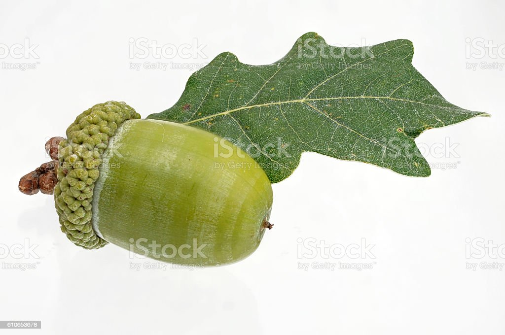 single green acorn fruits with a leaf stock photo