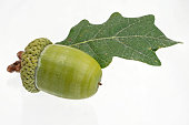 single green acorn fruits with a leaf