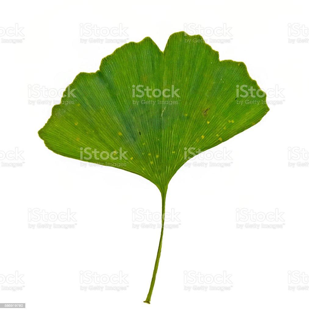 single green ginkgo leaf on white stock photo