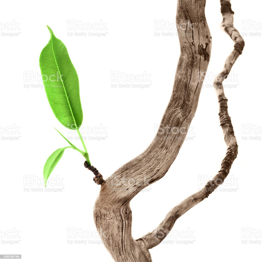 Single green leaf on dry branch stock photo