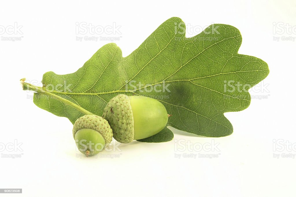 A single green oak leaf and two acorns on a white background stock photo