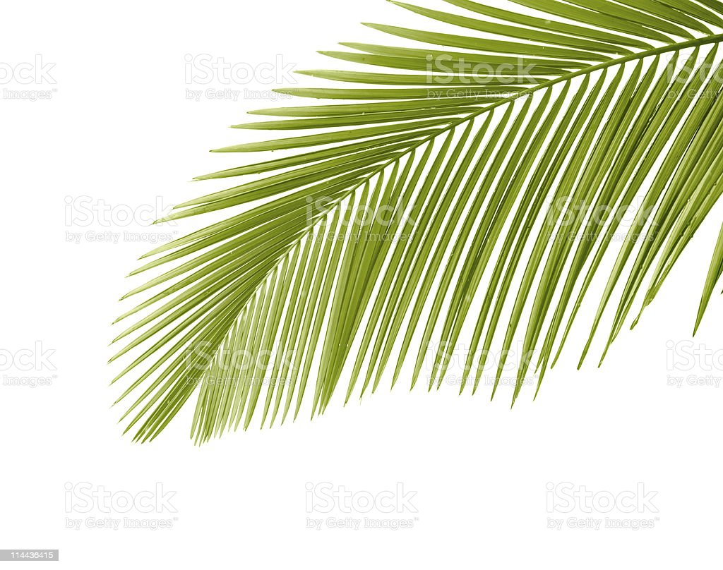 Single green palm leaf on a white background stock photo
