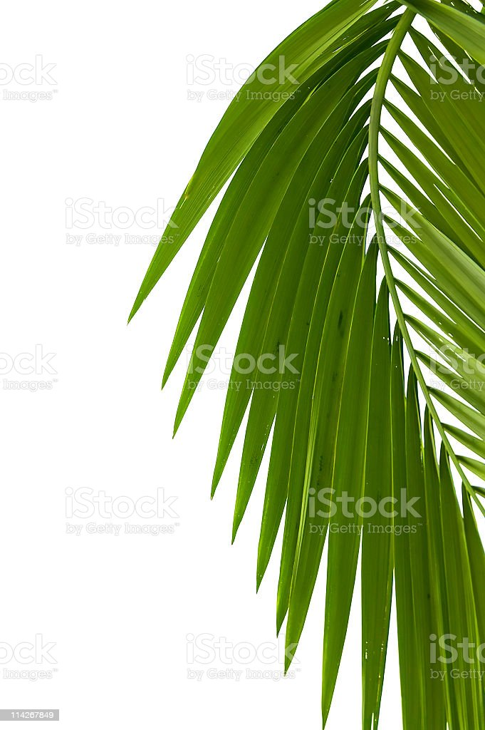 Single green palm leaf on the side of white background stock photo