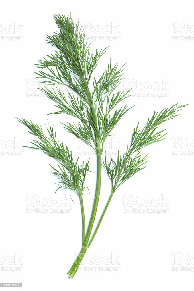 Single green sprig of dill plant stock photo