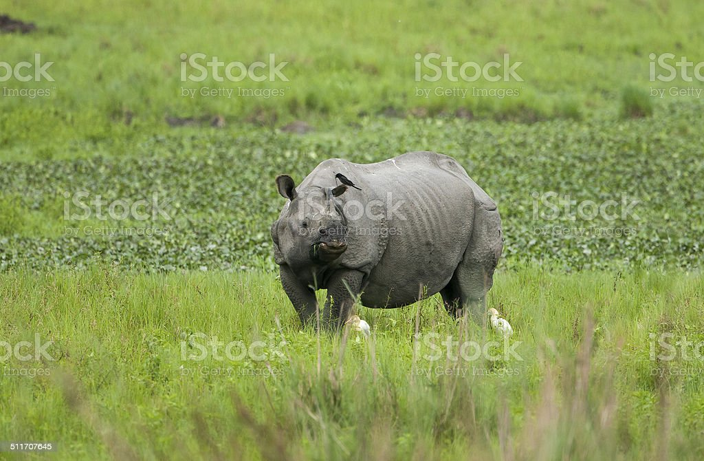 Single horned Indian rhino stock photo