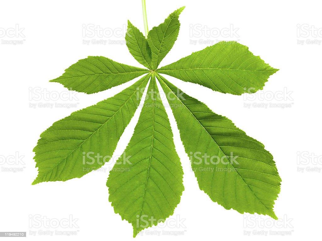 single horse chestnut leaf isolated on white stock photo